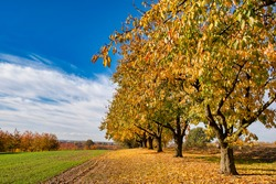 Beautiful fall foliage in field with blue sky and clouds, sunny day, autum scenery.