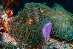 Beautiful False Clownfish in their host anemone on a tropical reef in Asia..