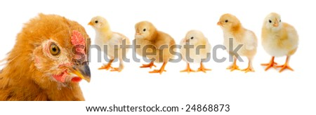 Beautiful family consisting of mother hen and her five chicks on white background