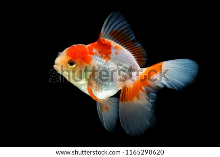 Beautiful fantail goldfish movement, Capture movement goldfish on black background #1165298620