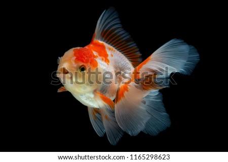 Beautiful fantail goldfish movement, Capture movement goldfish on black background #1165298623