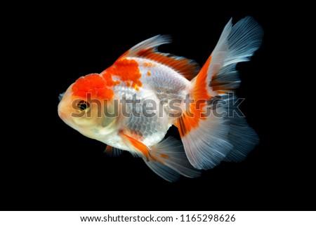 Beautiful fantail goldfish movement, Capture movement goldfish on black background #1165298626