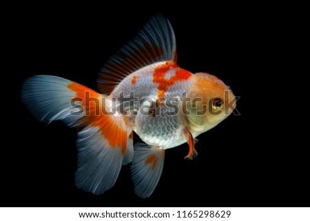 Beautiful fantail goldfish movement, Capture movement goldfish on black background #1165298629