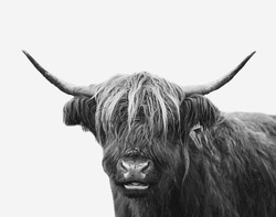 Beautiful farm cow/ bull close up portrait. Minimalist animal image on a white background. Agricultural cattle picture