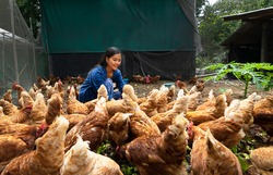 Beautiful farmer feeding chickens in the farm. Concept organics farm, organic living.Asian agriculture.Chicken egg. Healthy farm healthy food.