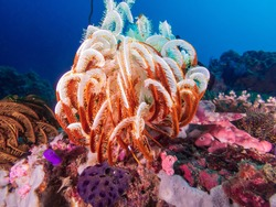 Beautiful feather star crinoid on a colorful coral reef near near Anilao, Batangas,, Philippines.  Marine life and underwater photography.