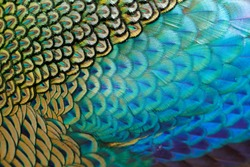 Beautiful feathers of male green peafowl / peacock (Pavo muticus)