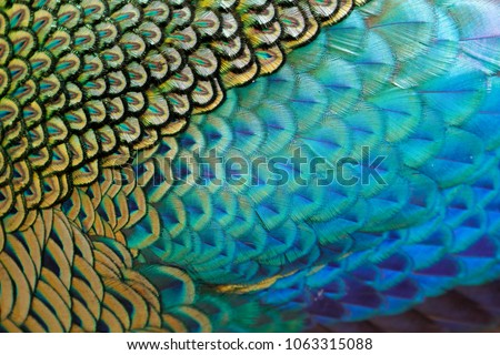 Beautiful feathers of male green peafowl / peacock (Pavo muticus) (shallow dof)