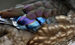 Beautiful feathers of Mandarin duck (aix galericulata) an exotic and colorful bird