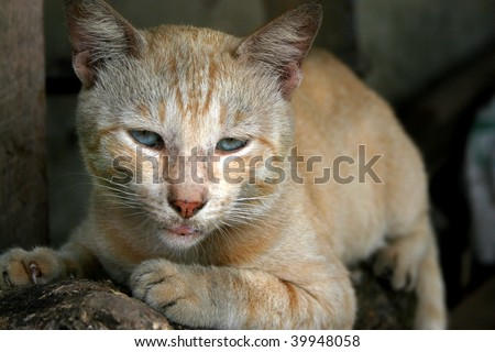 Beautiful feline - An intense stare from a blonde wild cat in Sri Lanka.