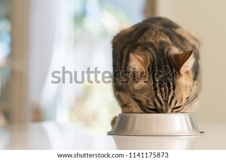 Beautiful feline cat eating on a metal bowl. Cute domestic animal.