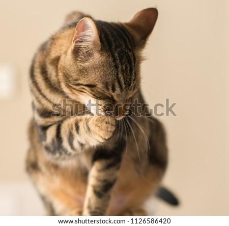 Beautiful feline cat licking himself at home. Domestic animal #1126586420