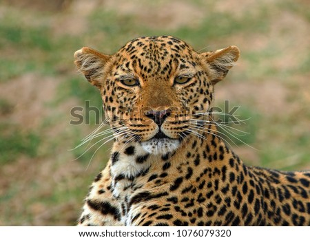 Beautiful Female African Leopard (Panthera Pardus) staring directly into camera with a natural bokeh green plains background in South Luangwa National Park, Zambia #1076079320