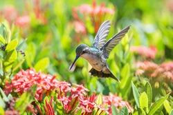 Beautiful female Blue-Tailed Emerald (Chlorostilbon mellisugus) hummingbird in flight feeding on red flowers