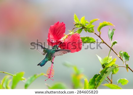Shutterstock Beautiful female Blue-Tailed Emerald (Chlorostilbon mellisugus) hummingbird in flight feeding on red flowers