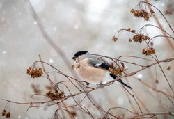 Beautiful female eurasian bullfinch with red chest sitting on a tree twig under the snow & cold wind in winter. Cute little bird with colorful feathers like on a new year or christmas postcard
