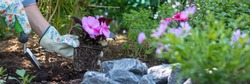 Beautiful female gardener holding a flowering plant ready to be planted in her garden. Gardening concept. Web banner.