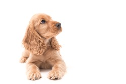 Beautiful female Golden Cocker Spaniel puppy lays on white background looking up