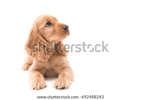 Beautiful female Golden Cocker Spaniel puppy lays on white background looking up #692488243