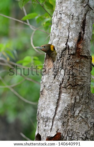 beautiful female Greater Yellownape woodpecker (Picus flavinucha) at her hole