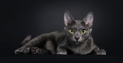 Beautiful female Korat cat, laying down side ways. Looking focussed straight to camera with yellow / green eyes. Isolated on black background.
