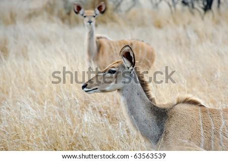 Beautiful female Kudu in open grassland
