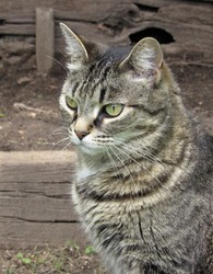 Beautiful female striped gray and tan tabby cat sitting outside in a garden on wooden steps