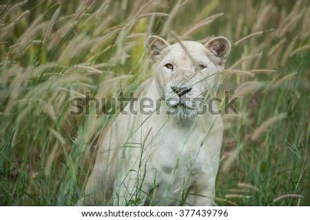 Stock Photo Beautiful female white lion lying in grass field