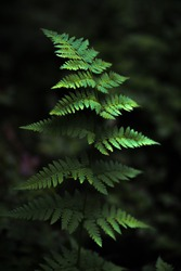Beautiful fern in a forest, nature photography.