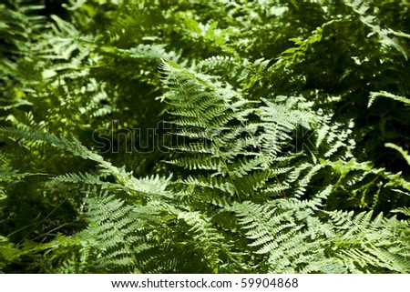 Beautiful fern in dense forest in the popular Blue Ridge  Mountains in Shenandoah national park - stock photo