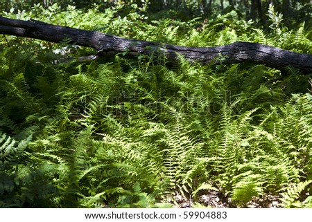 Beautiful fern in dense forest in the popular Blue Ridge  Mountains in Shenandoah national park