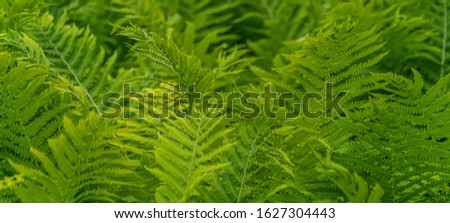 Beautiful fern leaves green foliage vegetative background or banner. Ferns jungles tropical floral backdrop. Vibrant ferns close up with bokeh in nature forest. Blurred greenery, botany concept.