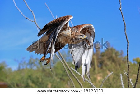Beautiful Ferruginous hawk in flight