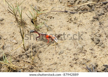 Beautiful fiddler crab with a large claw