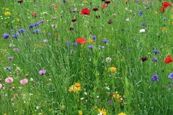 Beautiful field meadow full of green grasses and multicoloured wild flowers in bloom. Delicate, fragile, vulnerable ecosystem and biodiversity environment. Natural organic abstract background texture