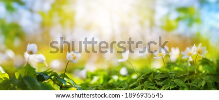 Beautiful field of anemone wild flowers in sunlight. Spring forest landscape with fresh windflowers outdoors. Nature and environment ecology concept. Stockfoto ©