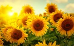 Beautiful field of blooming sunflowers against  blurry sunset golden light