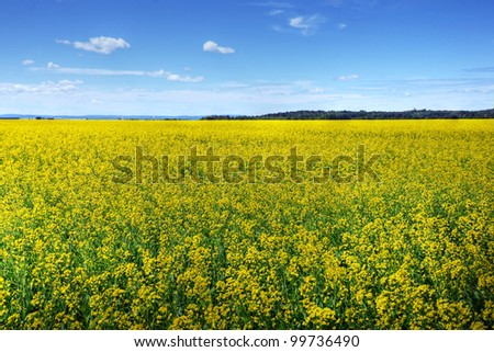 Beautiful field of canola, rapeseed or colza in yellow bloom on a sunny day, perfect rural scene or agriculture background.