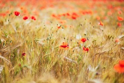 Beautiful field of red blooming poppies and golden wheat spikes. Wildflower meadow on a summer day. Scenic nature landscapes