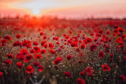 Beautiful field of red poppies in the sunset light. Russia, Crimea