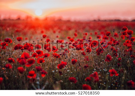 Photo of  Beautiful field of red poppies in the sunset light. Russia, Crimea