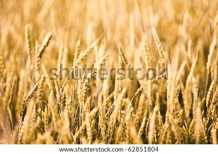 Beautiful field of wheat close-up