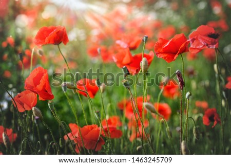 Beautiful single poppy Images and Stock Photos - Page: 4
