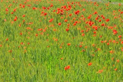 Beautiful field with bright red poppy flowers and green wheat. Uncultivated field with poppy flowers and green grass. Summer background, selective focus