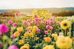 Beautiful field with pink and yellow dahlia flowers, autumn garden filled with sun light