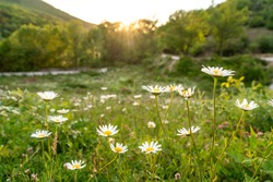Beautiful field with white daisy flower background. Bright chamomiles or camomiles meadow. Summer in the garden. Meadow with flowers at sunset