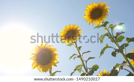 Beautiful fields with sunflowers in the summer in the rays of bright sun. Crop of crops ripening in field. field of yellow sunflower flowers against a background of clouds. A sunflower sways in wind.