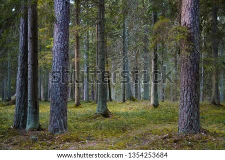 beautiful fir forest #1354253684