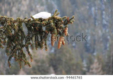 Beautiful fir-tree branch with fir-cones and snow in winter mountains