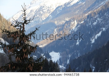 Beautiful fir-tree with fir-cones in winter mountains